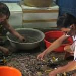 Đẩy mạnh phát triển nuôi tôm sinh thái kết hợp với bảo vệ rừng ngập mặn