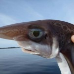 Phát hiện mới gây bất ngờ về loài cá mập