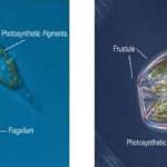 Những ảnh hưởng có hại của tảo 2 roi trong ao nuôi tôm