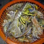 Thành công trong nuôi tôm tít tại Cà Mau