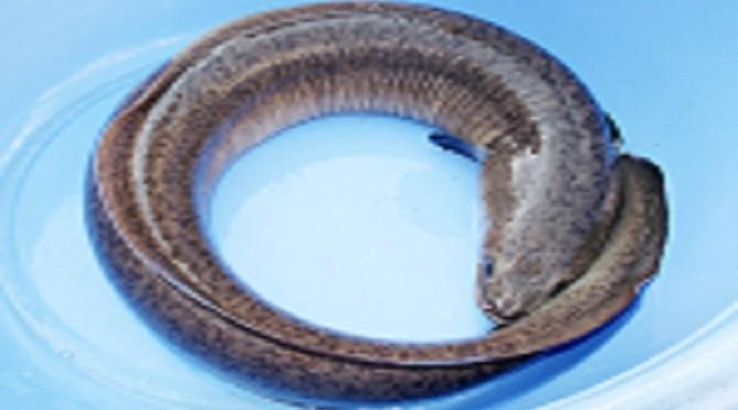 Nuôi thương phẩm cá Chình trong ao đất tại Thanh Hóa khuyến cáo cho hướng nghiên cứu tiếp theo