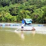 Vụ cá lăng nha chết hàng loạt: Do Phú Ninh xả nước đường đột?