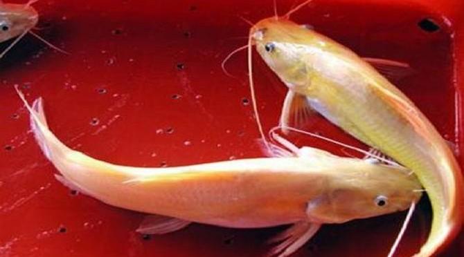 Một số biện pháp phòng, trị bệnh cho cá lăng vàng nuôi lồng