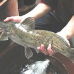 Thanh Hóa: Thành công sản xuất giống cá Lăng chấm bằng phương pháp nhân tạo