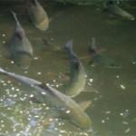 Người Tày nuôi cá bỗng