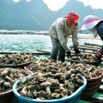 Lưu ý khi nuôi hàu Thái Bình Dương