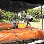 Sản xuất giống lươn đồng