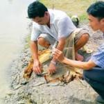 Thành công từ nuôi ghép cá rô phi với tôm công nghiệp