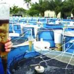 Ứng dụng vi khuẩn tạo chất kết tụ sinh học xử lý nước ao nuôi cá