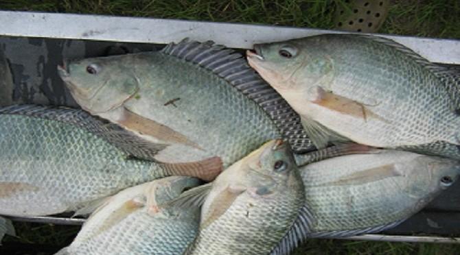Ứng dụng công nghệ biofloc trong nuôi thâm canh cá rô phi thương phẩm
