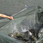 Nuôi cá trắm đen bằng thức ăn công nghiệp: Mô hình nhiều triển vọng