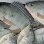 Đực hóa cá rô phi Oreochromis niloticus bằng phương pháp ngâm trong nước pha spironolacton