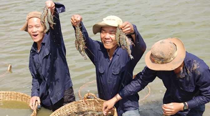 Ninh Thuận: Bền vững như tôm nuôi VietGAP