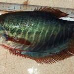 Sinh sản nhân tạo cá sặc rằn