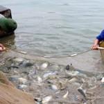 Hiệu quả vượt trội từ lai ghép cá rô phi lai xa dòng Isarel