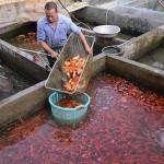 Khấm khá nhờ cá chép đỏ