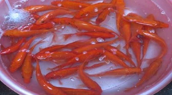 Công nghệ sản xuất cá chép giống