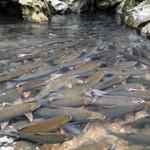 Mô hình nuôi cá trắm đen cho lợi nhuận 200 triệu đồng mỗi hécta