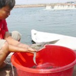 Hạn chế thả giống tôm biển do dịch bệnh đốm trắng đang phát triển trên diện rộng
