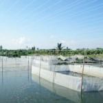 Mô hình nuôi ếch kết hợp với nuôi cá tăng thu nhập cao