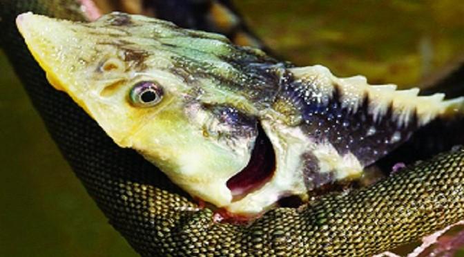 Triển vọng nuôi cá tầm Beluga