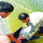 Quản lý đàn cá tra bố mẹ