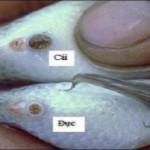 Ba phương pháp tuyển chọn cá rô phi đơn tính đực