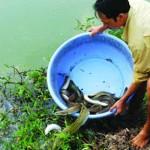 Lãi trăm triệu nhờ cá chình