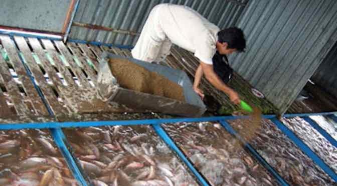 Cần phòng bệnh phù mắt, xuất huyết trên cá điêu hồng nuôi bè