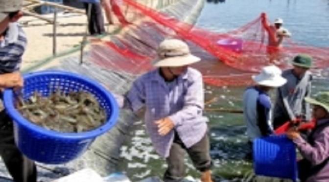 Giải pháp nào để giảm giá thành tôm nuôi Việt Nam?