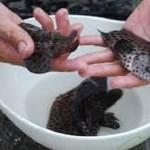 Công nghệ sản xuất giống và nuôi thương phẩm cá Song Chuột