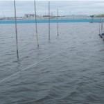 Diệt sứa nước trong ao nuôi