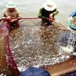 Cứu cánh nuôi tôm: Công nghệ mới, tôm thoát dịch
