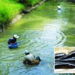 Quy trình nuôi thương phẩm cá bống bớp