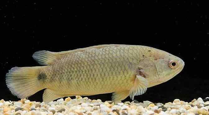 Điều trị bệnh nấm nhớt trên cá rô đồng