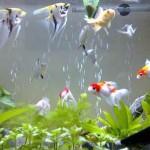 Cá cảnh – loài thủy sản có thế mạnh xuất khẩu