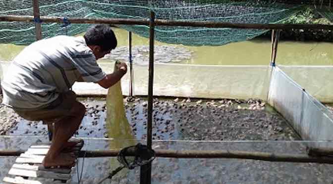 Những lưu ý khi nuôi ếch trong lồng lưới