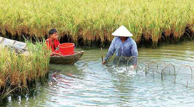 Hiểu thêm về tôm càng xanh khi nuôi trên ruộng lúa