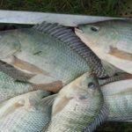 Dùng cá rô phi để lọc nước cho ao nuôi tôm
