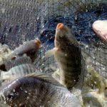 Phòng, chữa bệnh hiệu quả cho cá nuôi với 7 loại thảo mộc